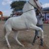 मारवाड़ी घोड़ों का प्रदर्शन (चित्र)