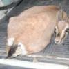 उदयपुर रास नहीं आया काले हिरणों-चिंकारों को