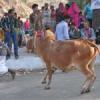 खूब खेलाया गायों को घसियार में