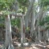 गुलाबबाग में फिर चंदन पेड़ चोरी