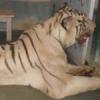 बायोलोजिकल पार्क में पहुंचा सफेद बाघ 'रामा'